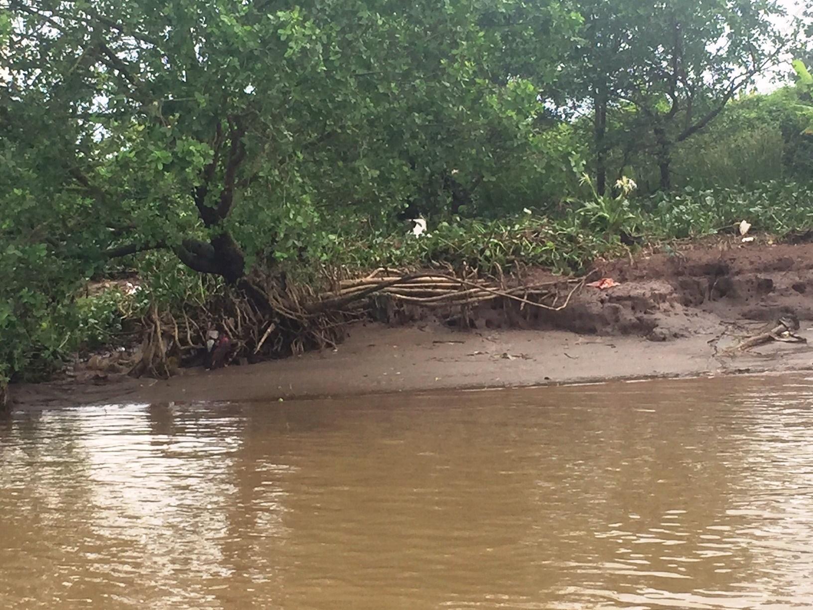 Nhiều gốc cây rừng phòng hộ sông Văn Úc trơ rễ do
