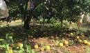 Sau mưa lũ, vựa cam Vinh rụng vàng gốc