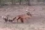 Video: Linh dương bị cắn lòi ruột vẫn chống trả bầy chó hoang