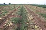 Nguyên nhân bất ngờ khiến nông dân phải nhổ bỏ củ cải, su hào