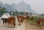 Quảng Bình: Ngăn chặn tình trạng thả gia súc trên đường giao thông