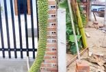Bình Định: Choáng với cây chuối kì dị dài 3m có 300 nải