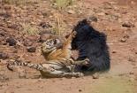 Video: Gấu mẹ đại chiến đẫm máu với hổ để bảo vệ con