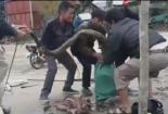 Người dân Vĩnh Phúc vây bắt rắn khủng nặng gần 20kg