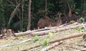 Xử phạt nữ cán bộ huyện tổ chức chặt phá rừng trái phép