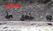 Video: Người dân đòi lắp... điều hoà cho đàn thiên nga hồ Thiền Quang