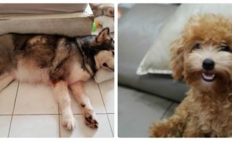 Hai chú chó anh hùng cứu chủ trong vụ cháy chung cư ở TP.HCM