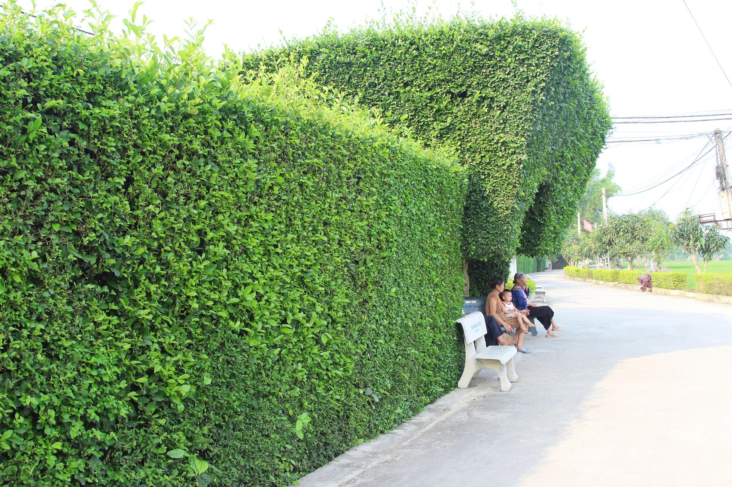 Khi các cây xanh đã thành khuôn, thành hình thì việc cắt tỉa  ít hơn. Ông Phan Mai (81, chủ cổng nhà này) cho biết trung bình 1 năm phải cắt tỉa 4 - 5 lần. Mỗi lần phải mất 2 - 3 ngày