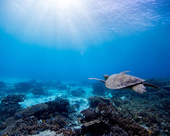 Rùa biển bơi dưới làn nước trong xanh được chiếu sáng bằng những tia nắng mặt trời.