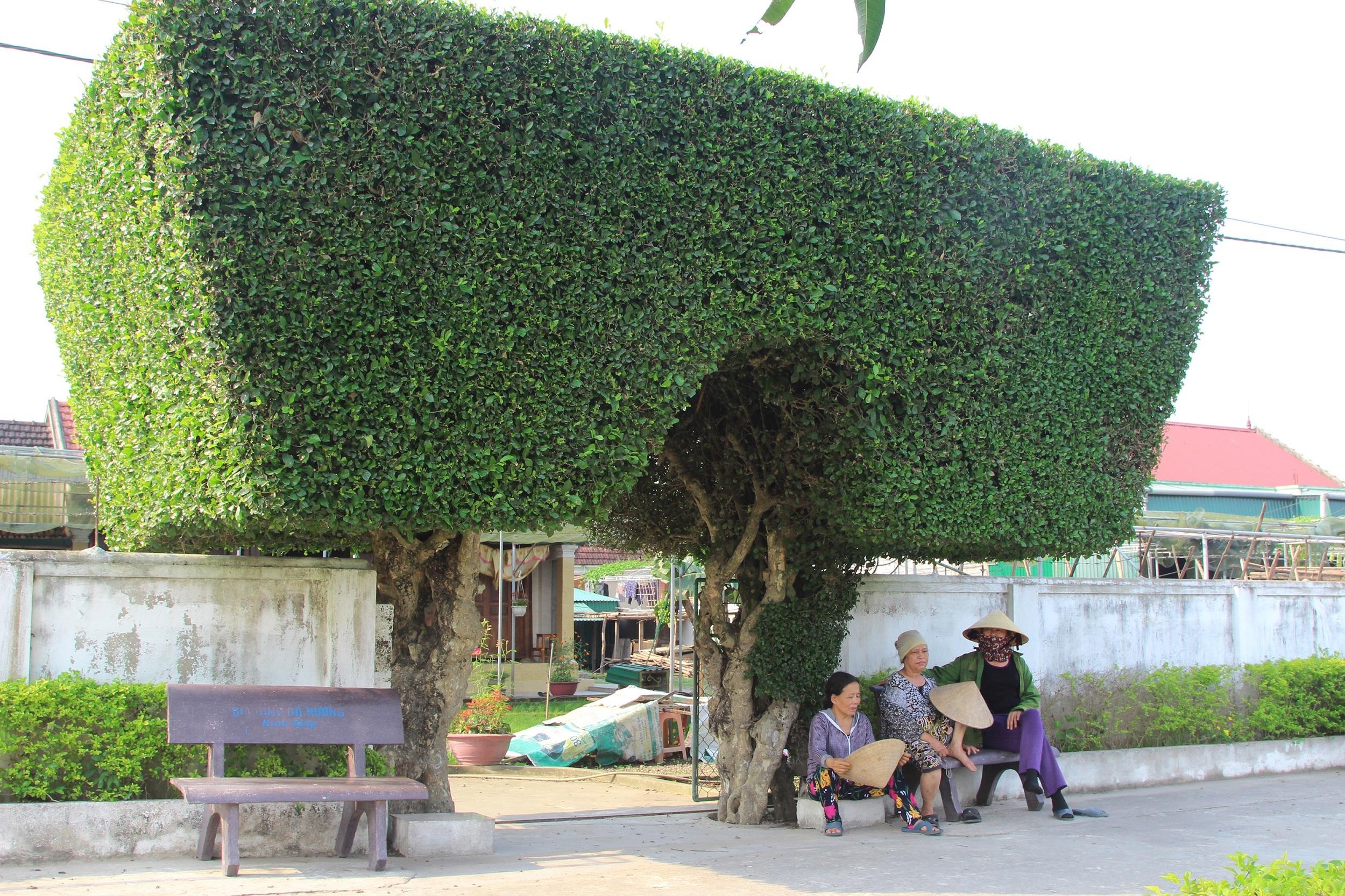 Ông Mai Xuân Tam (74 tuổi) chủ cổng nhà nói trên cho biết: Cả xóm Châu Nội đã có 7 cổng nhà được làm từ cây xanh. Riêng cổng nhà ông đã có lịch sử 130 năm tuổi và đã trải qua 5 thế hệ
