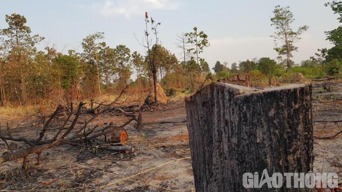 Gia Lai: Phát hiện hơn 4.500 m2 rừng bị phá sau phản ánh của Báo Giao thông 1