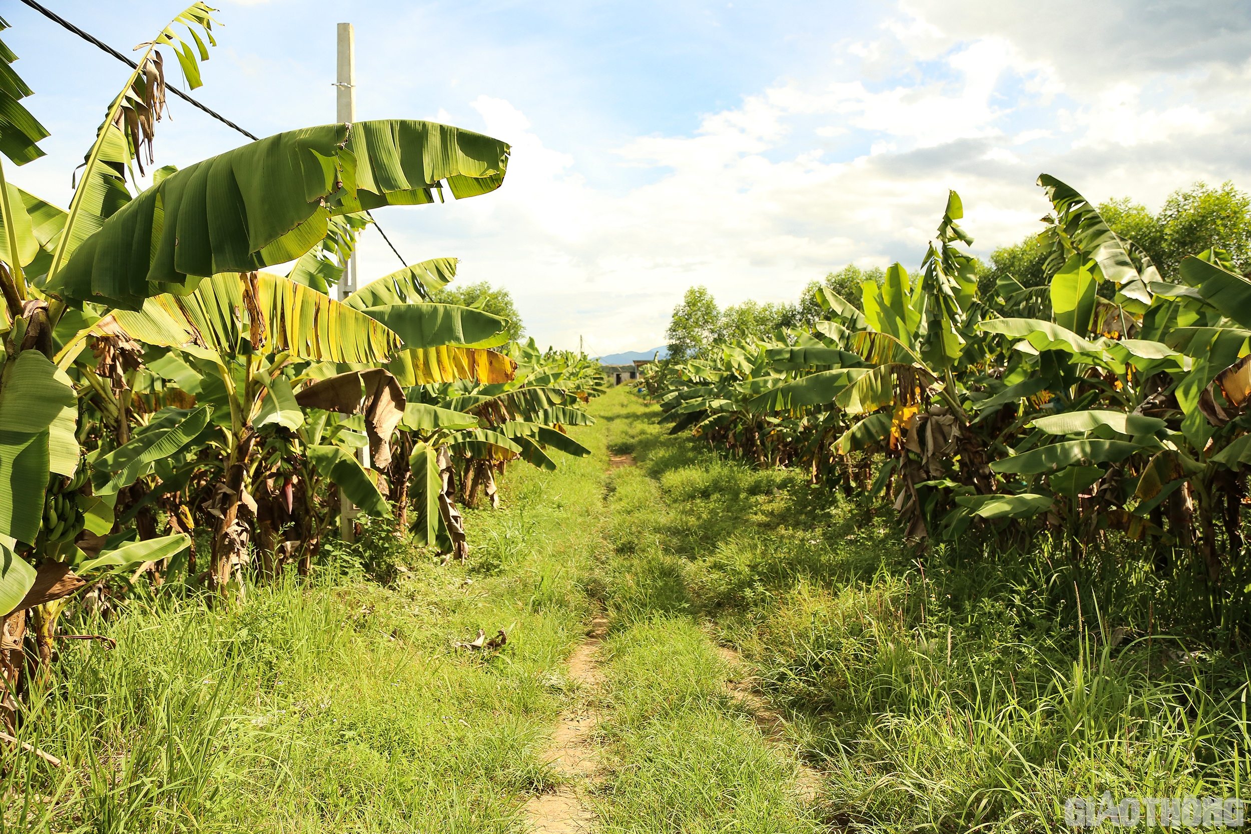 Mô hình trồng chuối tiêu hồng xuất khẩu ở Thuận Sơn, Đô Lương, Nghệ An được triển khai từ năm 2019 trên diện tích 20ha đất bãi bồi ven sông.